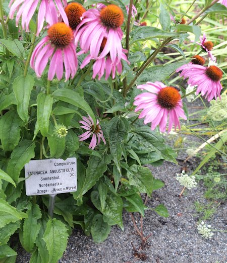 Echinacea plant (American Coneflower, Black Sampson or Black Susan)